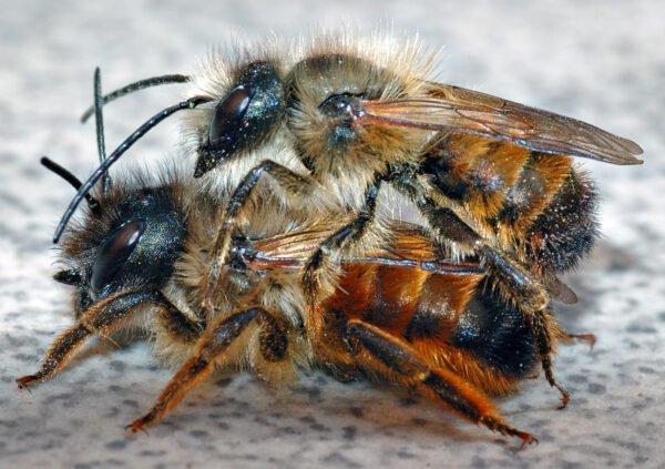 Wildbienen verhungern im ländlichen Raum
