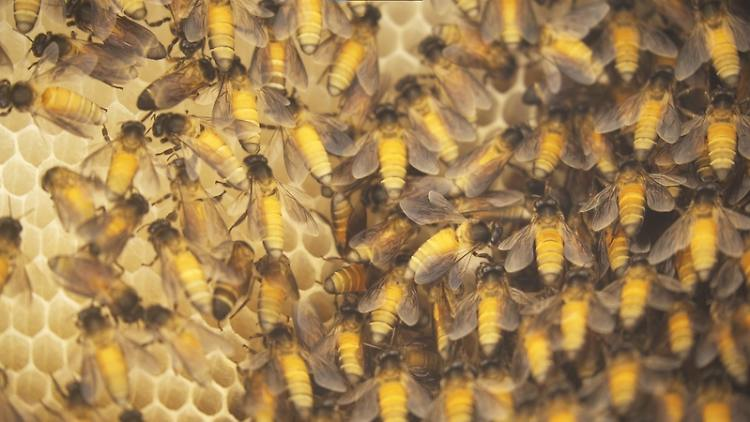 Luftverschmutzung setzt Honigbienen zu