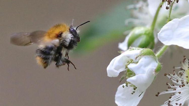 Ackerhummel bei Insektenzählung am häufigsten gesichtet