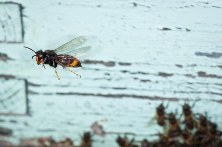 Asiatische Hornisse stört Honigbienen erheblich