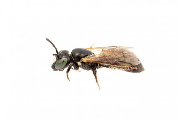 Seltene Biene nach 100 Jahren wiederentdeckt