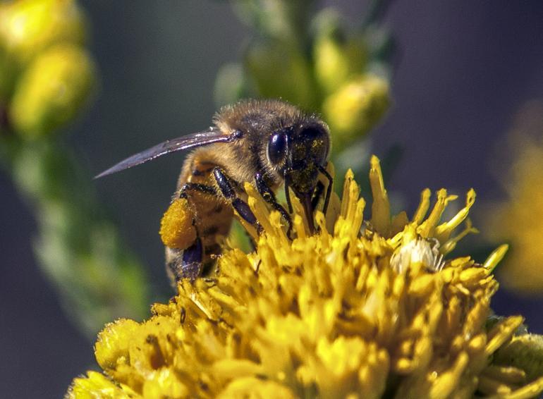 Honig unterstützt Verdauung pollenreicher Nahrung