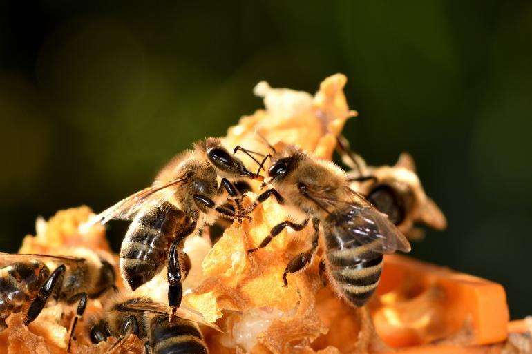 Nicht alle Honigbienen sind gleichermaßen sozial