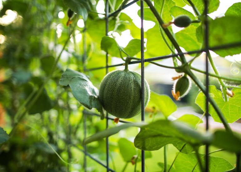 Wer bestäubt Melonen und Mandeln in Spanien?