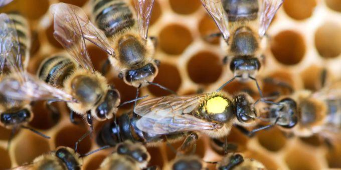 Bienensterben bedroht weltweite Ernährungssicherheit