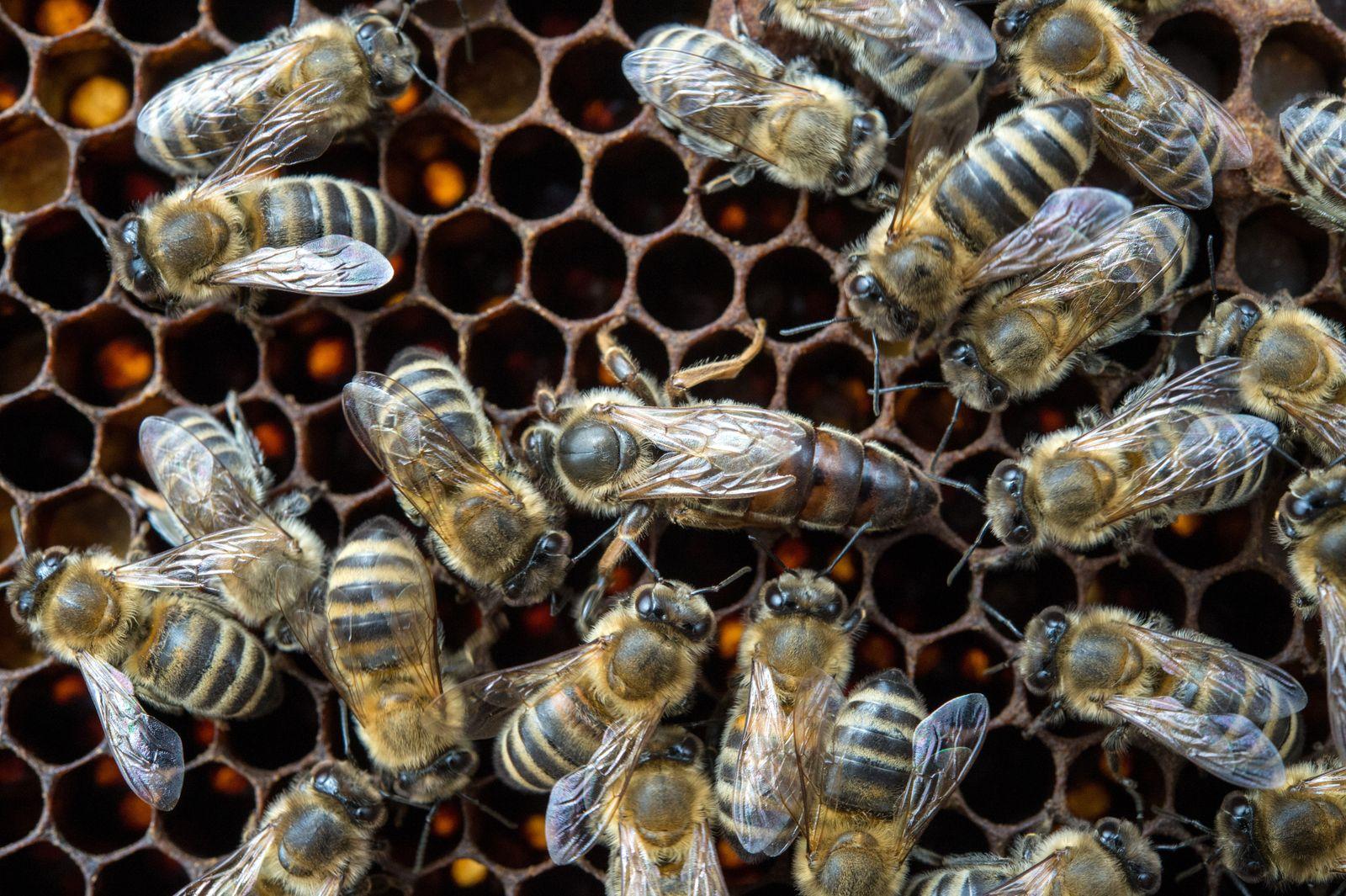 Australiens Bienenimporte wegen Coronapandemie in Gefahr