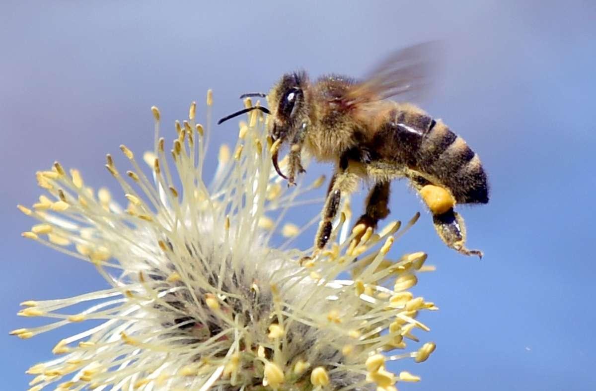 Trainierte Bienen erkennen das Coronavirus