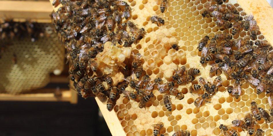 Wo leben Bienen? Da sind Honig- und Wildbienen zuhause
