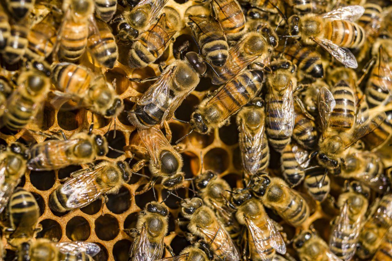 Bienen in Deutschland: Bienenarten, Aufbau des Bienenstocks & Co.