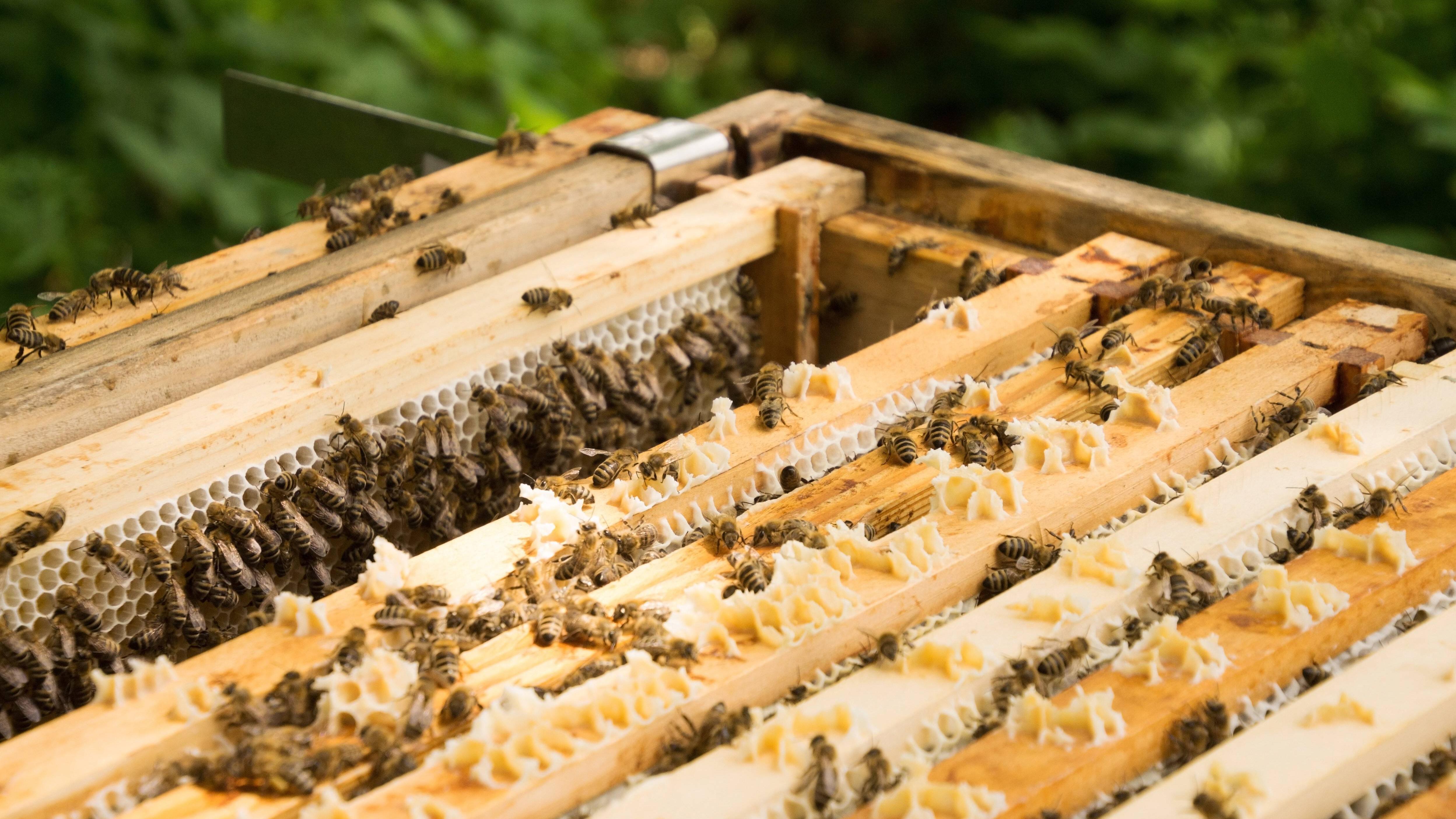 Bienen im Garten - das sollten Sie zum Hobbyimkern wissen