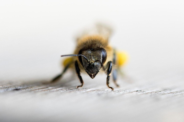 Bienen können Covid-19 erkennen