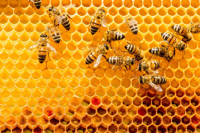 Naturstoff könnte Bienen vor tödlichem Virus schützen