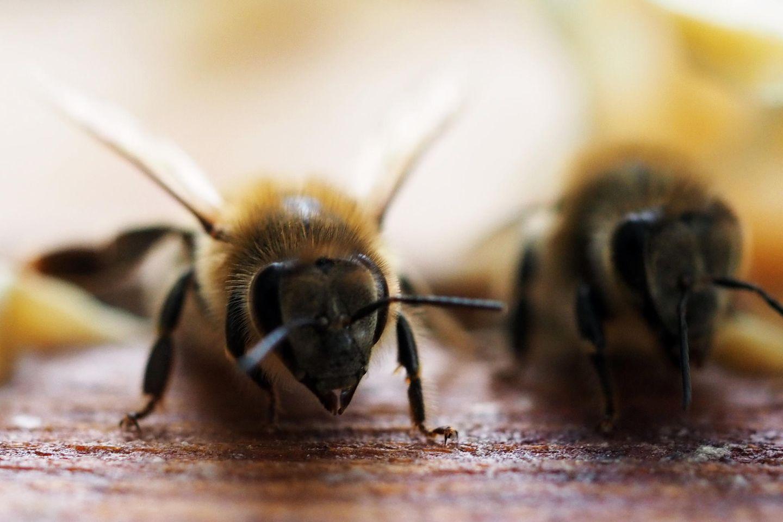 Wegen Lieferproblemen: Importierte Bienen sterben