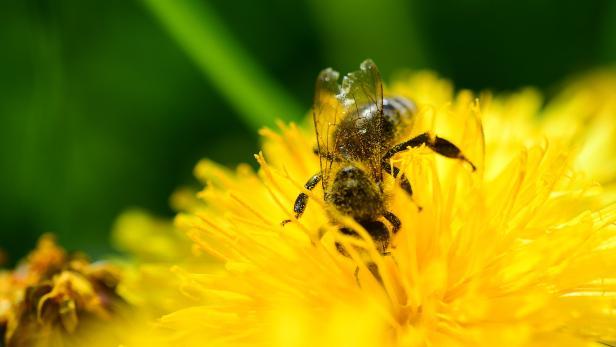 Geräusche von Bienen machen den Nektar von Blumen süßer | kurier.at