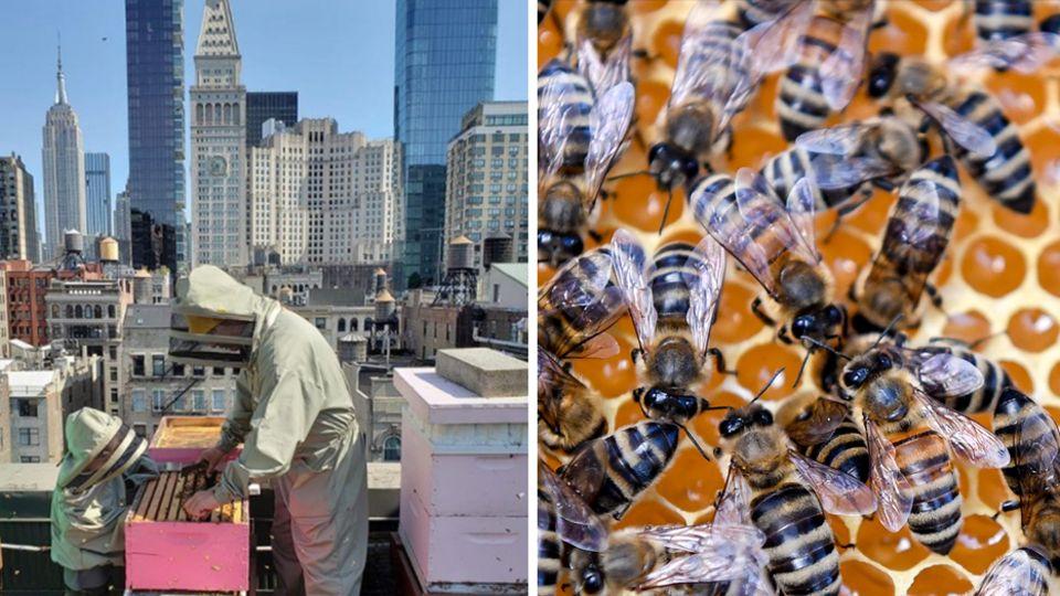 New York: Imker hält Bienen über den Dächern der Großstadt