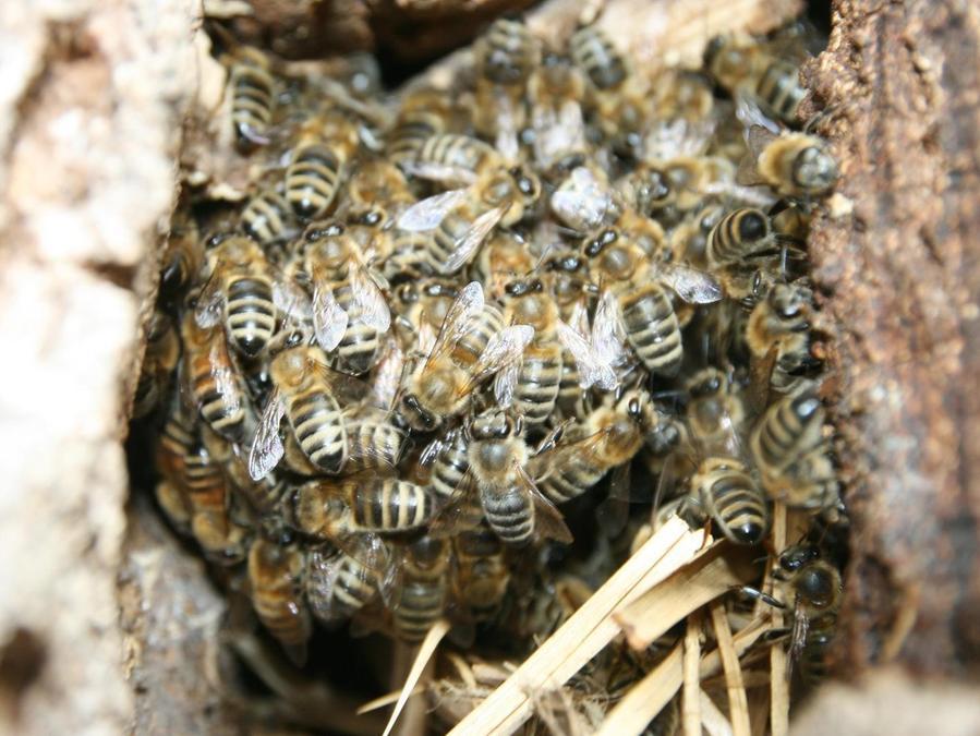 So können wilde Bienen Imkern helfen