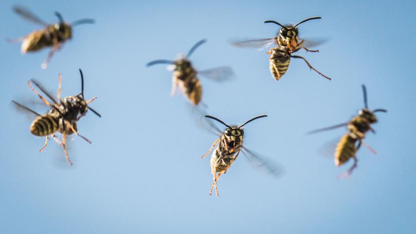 Hornissen: Zu Unrecht gefürchtet