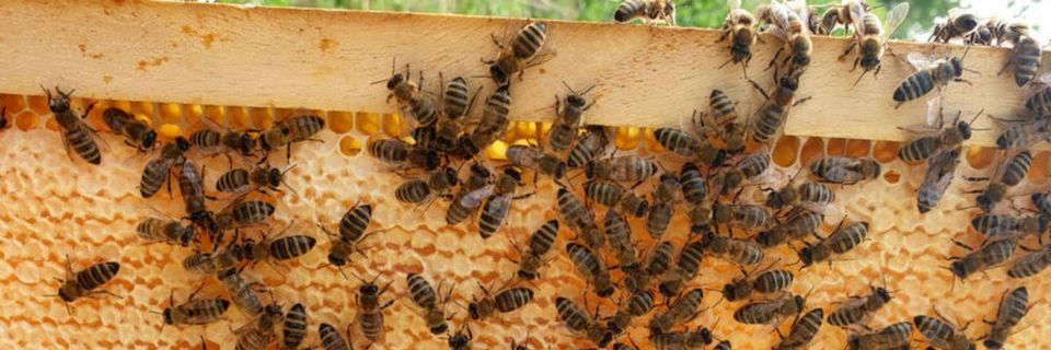 Bienen: Mit erhöhter Temperatur gegen Varroa