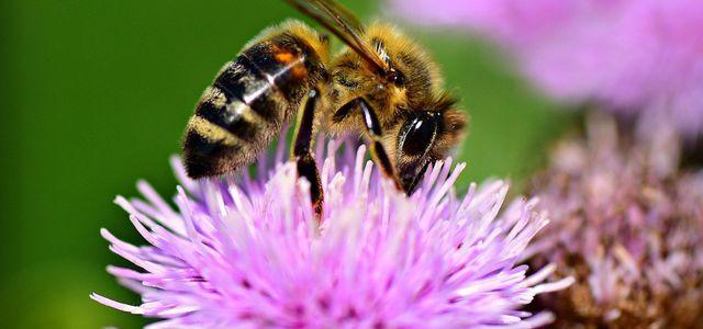 Bienenfreundliche Stauden: Die schönsten Pflanzen für deinen Garten