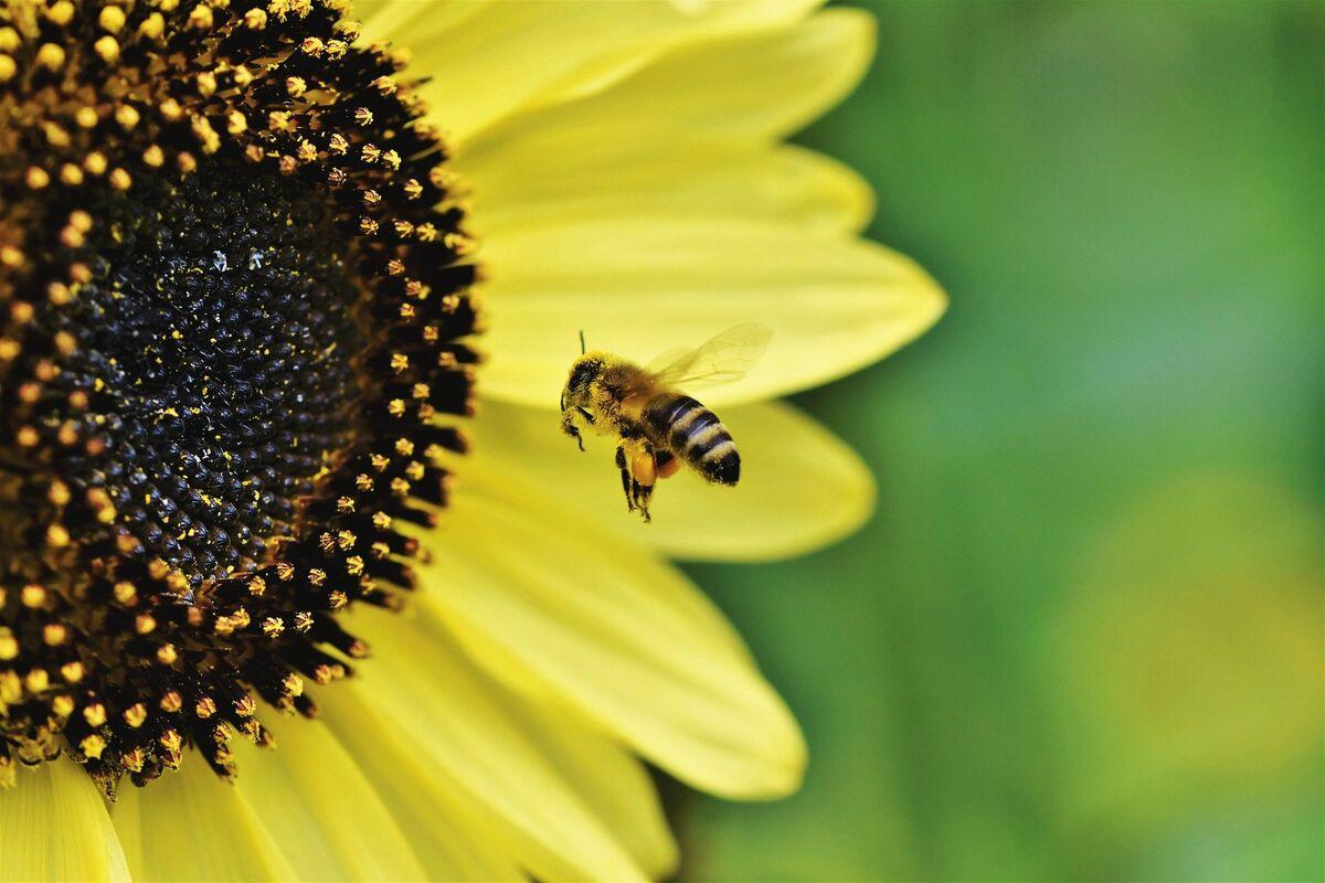 Private Gärten sind in Städten die wichtigste Nahrungsquelle für Insekten