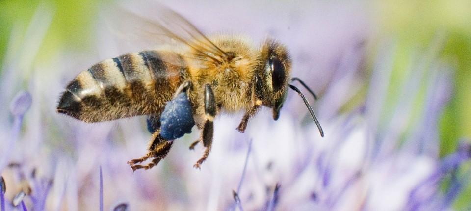 Mainzer Forscher untersucht Kommunikation von Bienen
