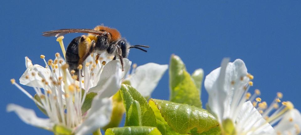 Nektar marsch: Wie wir Bienen ihr Geschäft leichter machen können