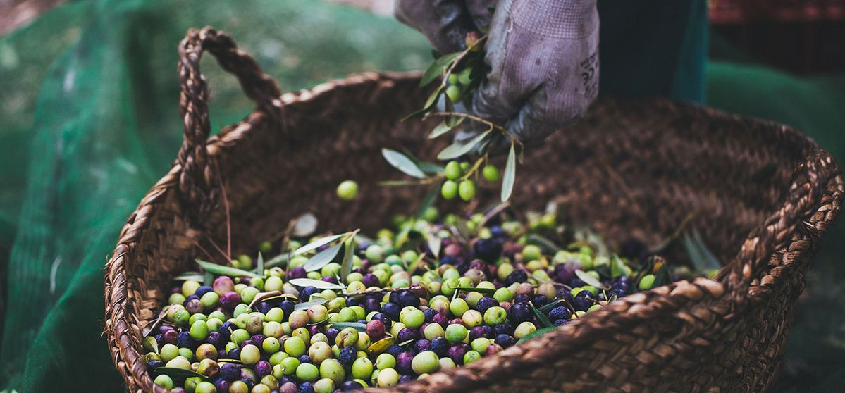 A Passion for Olives: The Oil Innovator