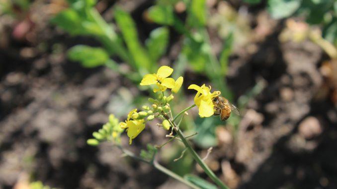 Varroa-Milben: Eine ständige Gefahr für Bienen