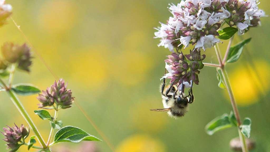 Umgang mit Wespen, Bienen und Hummeln: Kein Grund zur Panik