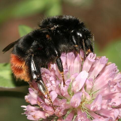 Bienengarten anlegen: Ideen und Tipps