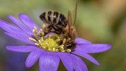 Bienen: Neue Fälle von Amerikanischer Faulbrut