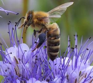 Wie viel ist die Bestäubungsleistung von Bienen wert?