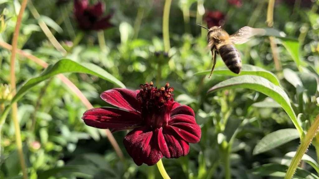 Bienes Liebling: die Schokoladenblume