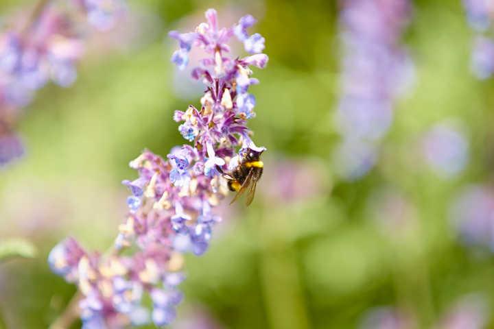 Balkonpflanzen, die Bienen anlocken