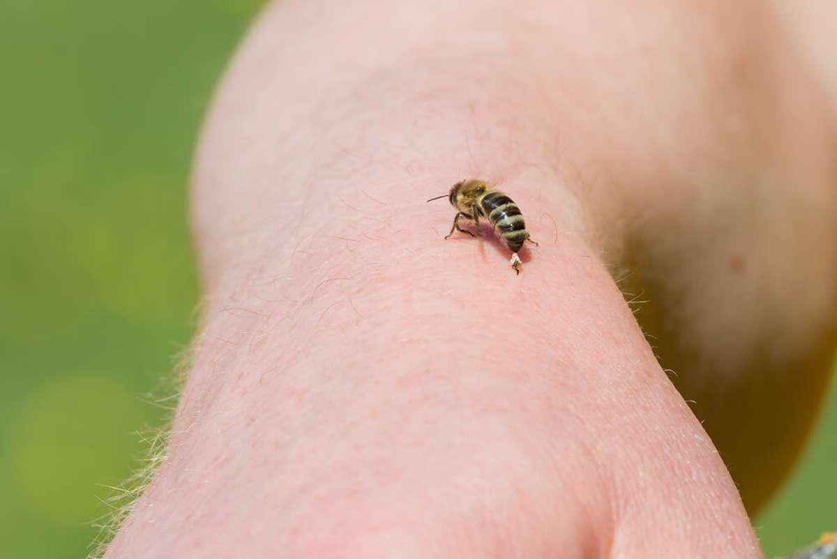 Warum sterben Bienen nach einem Stich?