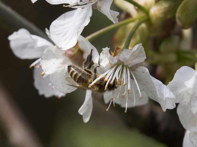 Weniger Wildbienen heisst weniger Nahrung