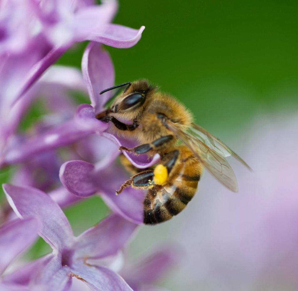 Rechenkünstler: Bienen können addieren und subtrahieren - WELT