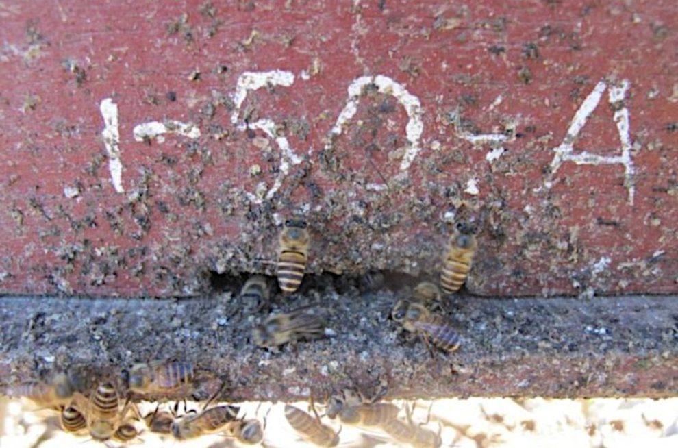 Neues Verhalten entdeckt Bienen bekämpfen Hornissen mit Mist